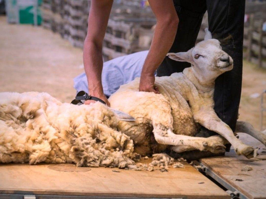 Лучшие машинки для стрижки овец в 2020 году