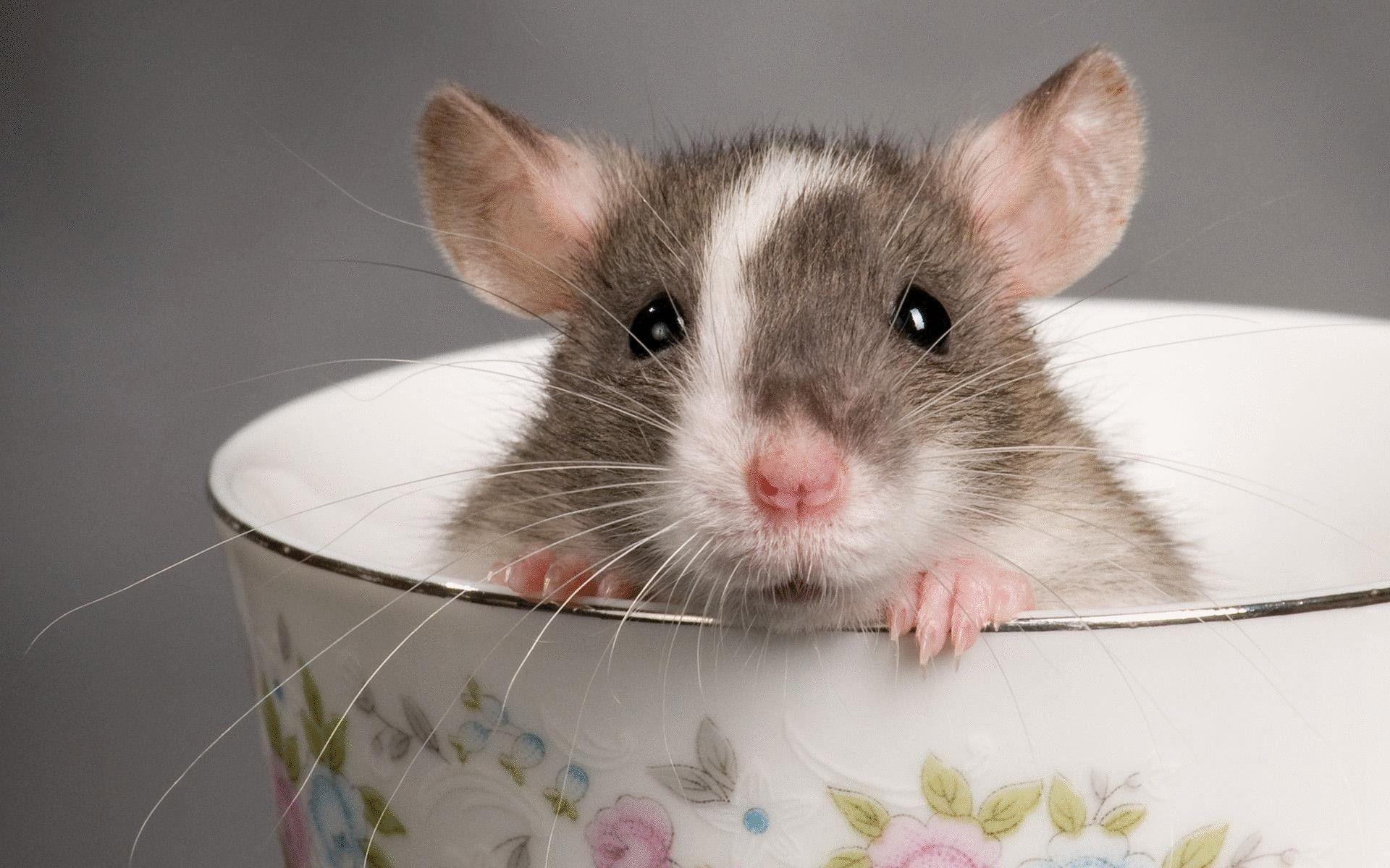 Рейтинг лучших кормов для декоративных крыс в 2020 году