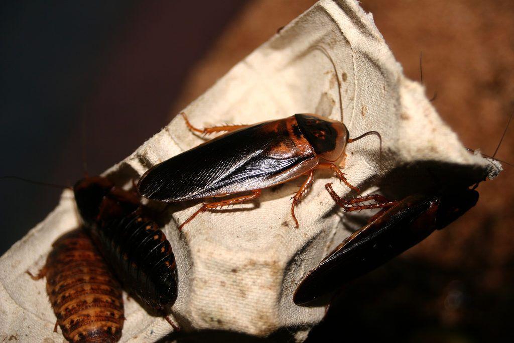 Лучшие средства от тараканов - какой фирмы выбрать