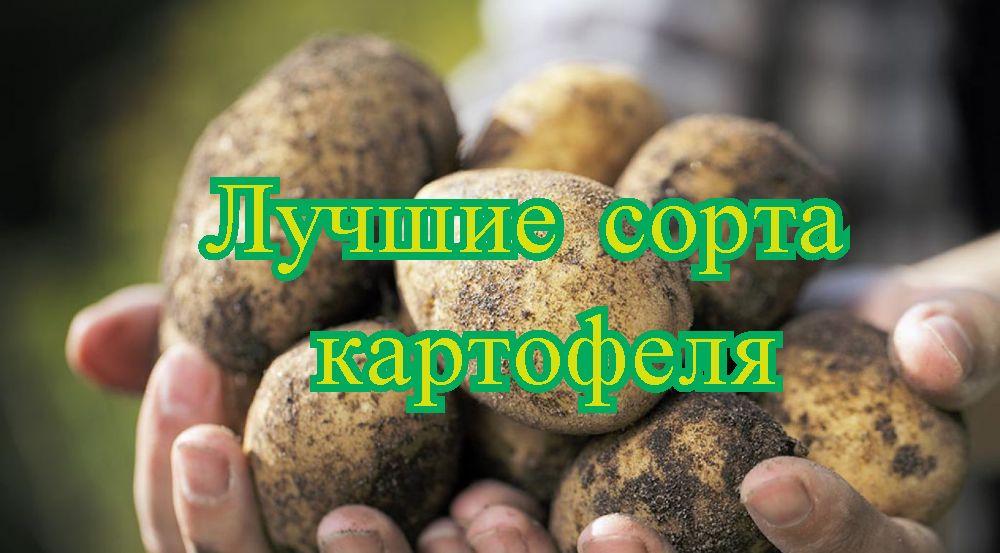 Рейтинг лучших сортов картофеля на 2020 год