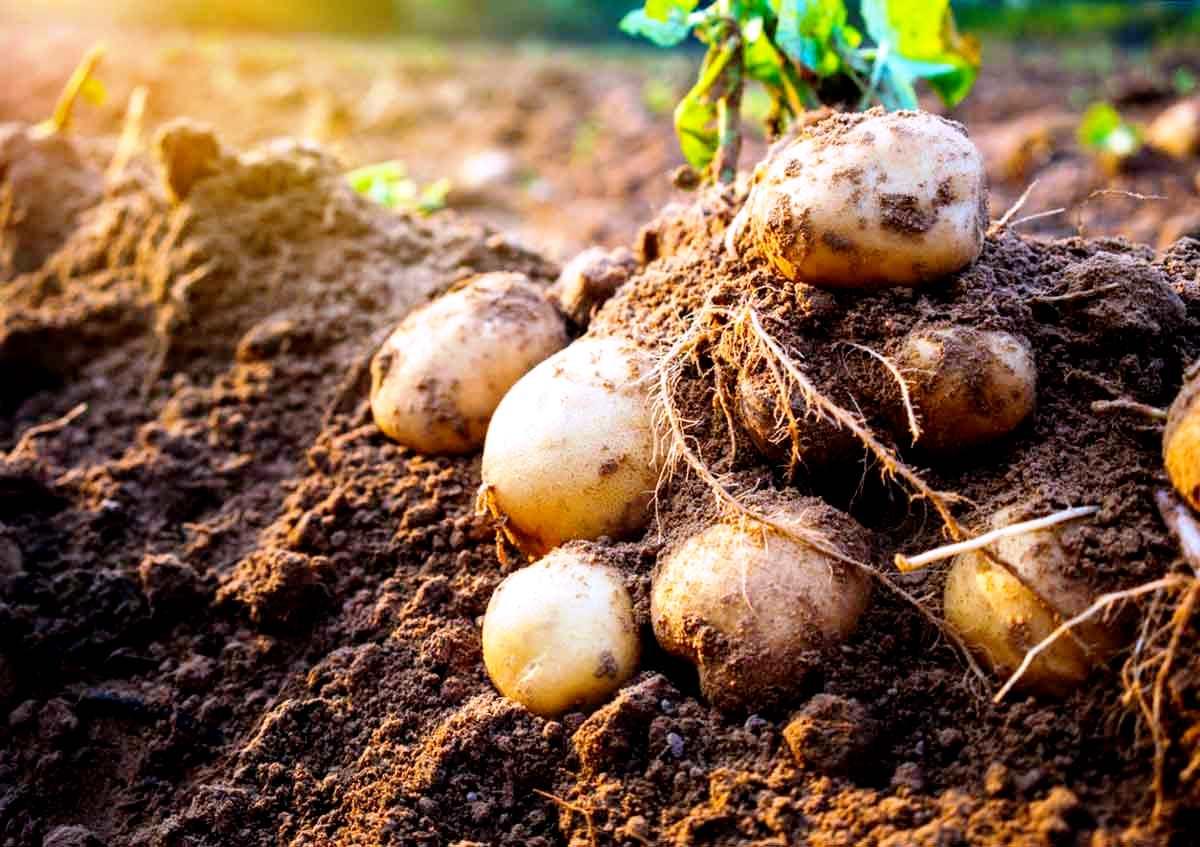 Рейтинг лучших картофелесажалок для мотоблоков на 2020 год
