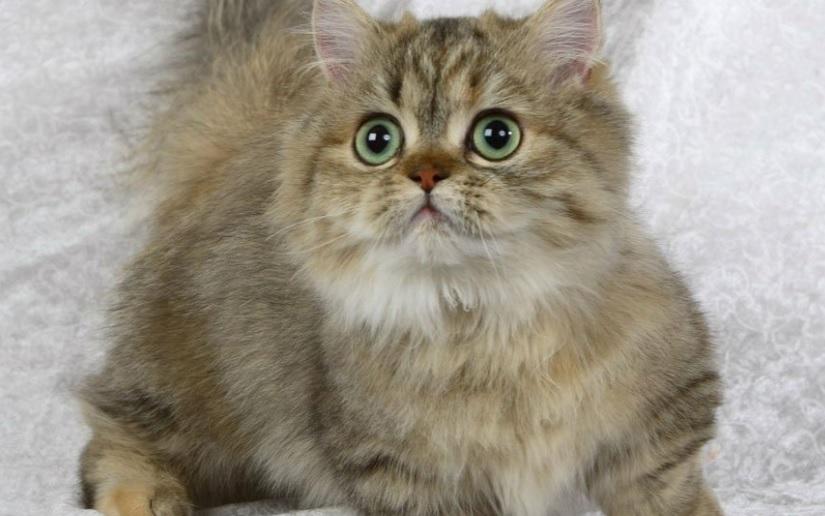 Рейтинг лучших пород карликовых кошек на 2020 год